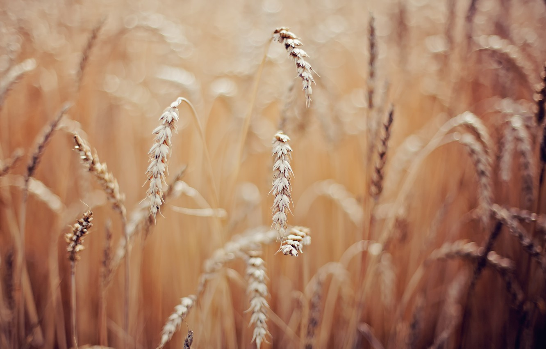 Фото обои пшеница, макро, колоски