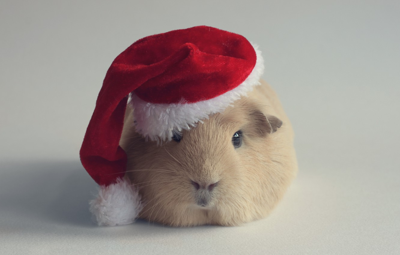 Фото обои шапка, новый год, морская свинка, грызун, санта-клауса