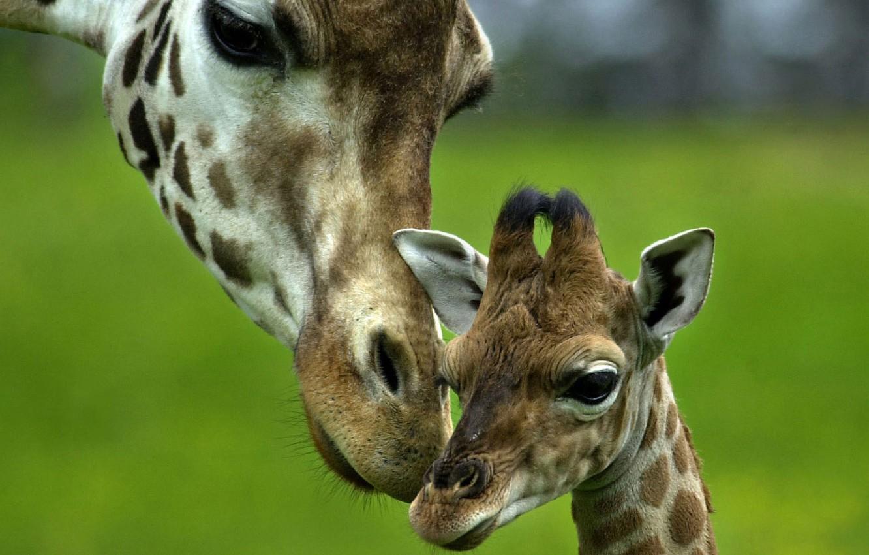 Фото обои любовь, нежность, малыш, жираф, забота, мама