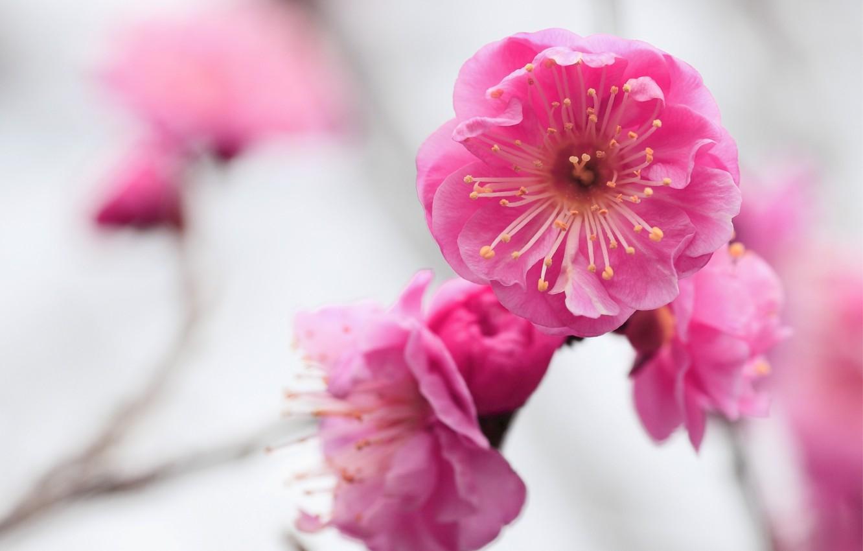 Фото обои макро, цветы, фокус, ветка, размытость, розовые, цветение, Абрикос