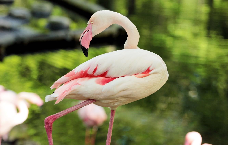 Фото обои розовый, перья, фламинго