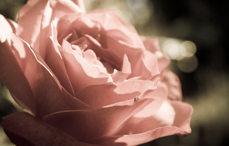 Фото обои макро, роза, Цветы, лепестки, бутон, flowers