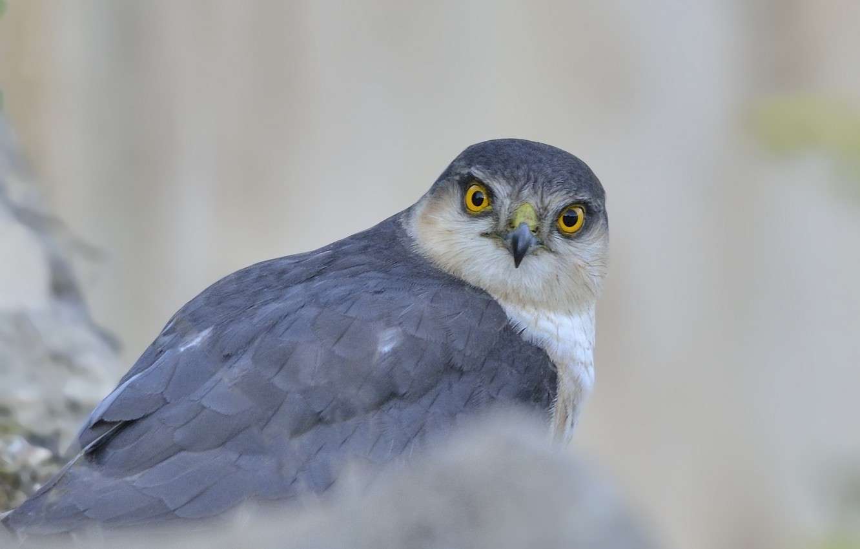 Фото обои взгляд, серый, фон, птица, хищник, ястреб, Перепелятник