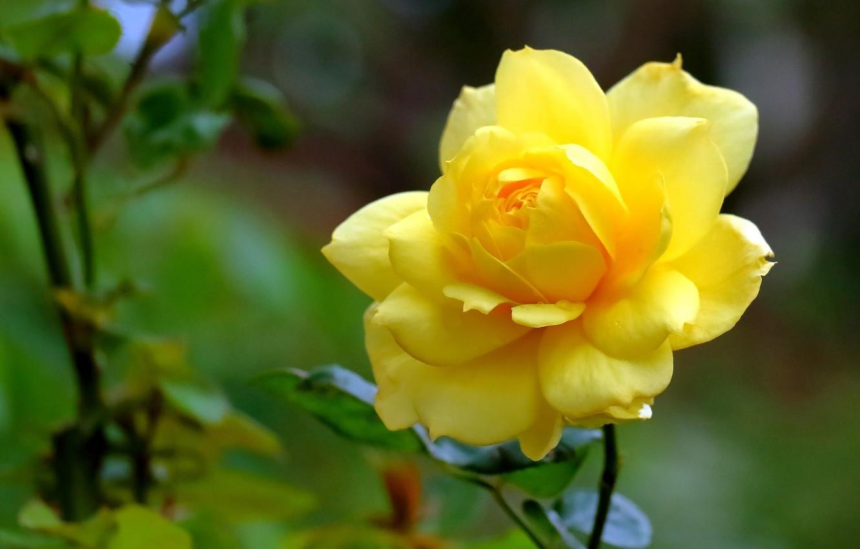 Картинки желтая роза