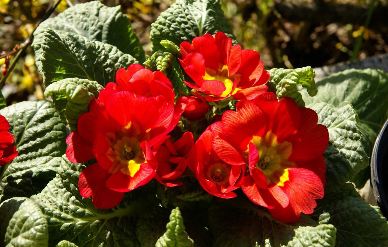 Фото обои листья, красный, обои, лепестки, клумба