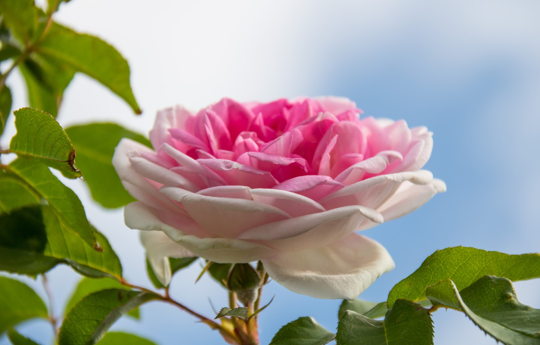 Фото обои небо, листья, макро, роза, бутон