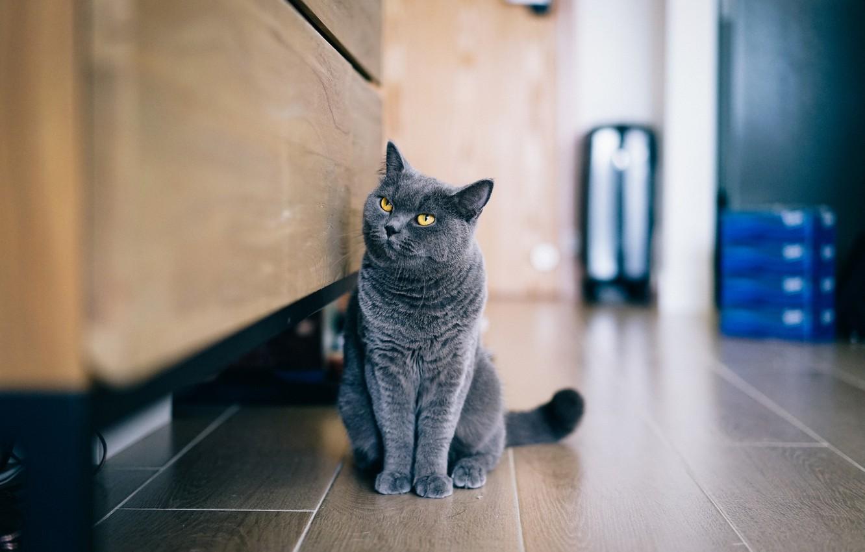 Фото обои кот, серый, сидит, смотрит, британец