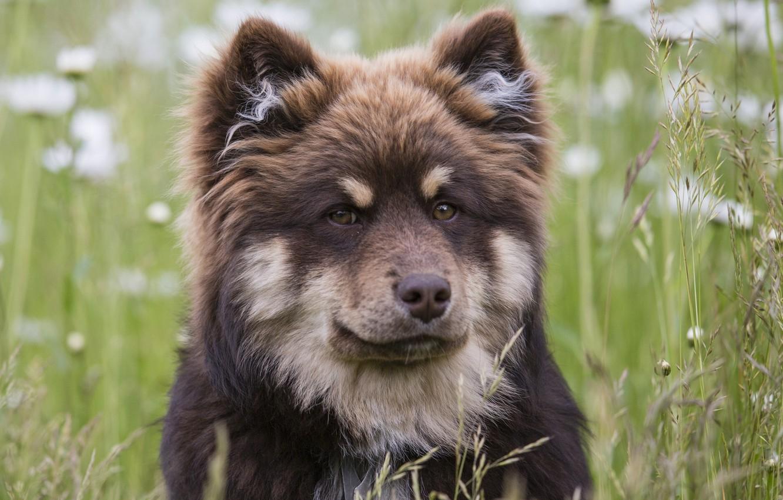 Обои Собака, Финский лаппхунд, морда. Собаки foto 11