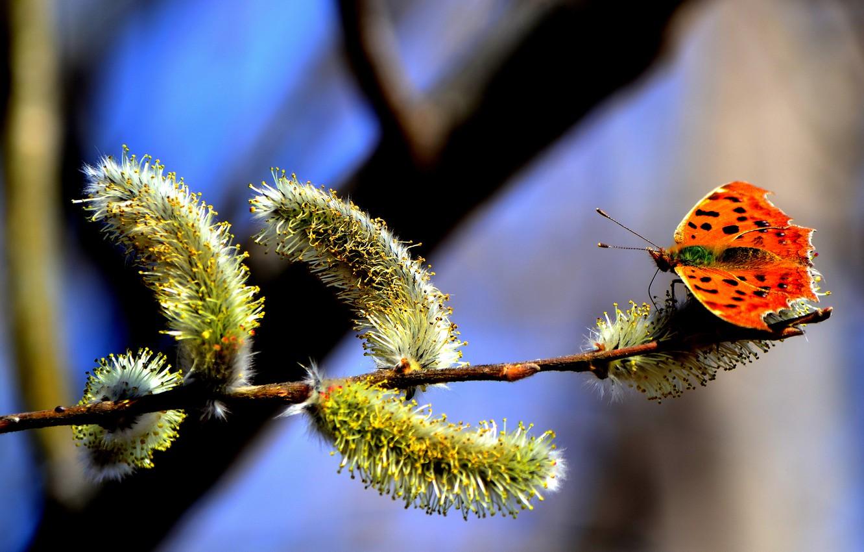 Фото обои небо, природа, дерево, пыльца, бабочка, ветка, весна, почки, верба