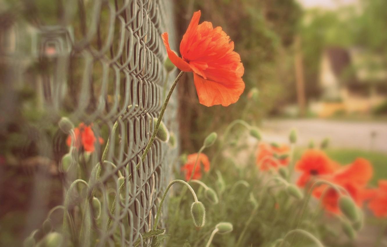 Фото обои макро, цветы, красный, фон, сетка, widescreen, обои, забор, мак, размытие, ограда, ограждение, wallpaper, цветочки, широкоформатные, …