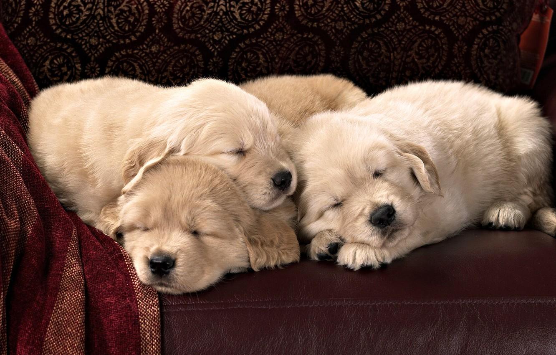 Фото обои диван, кожа, щенки, лабрадор, сони, спят, порода, текстиль