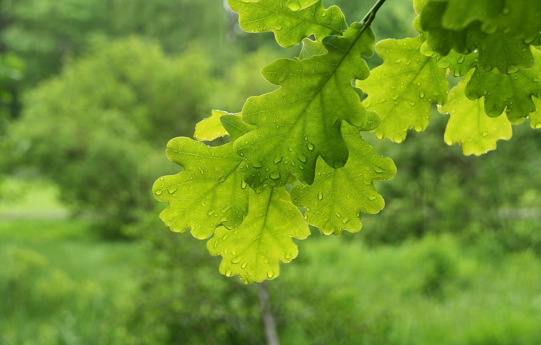 Фото обои макро, ветки, листва, зеленые, дуб