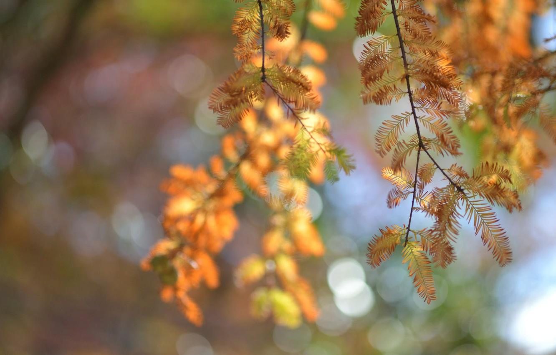 Фото обои макро, блики, дерево, Осень, размытость, хвоя, веточки