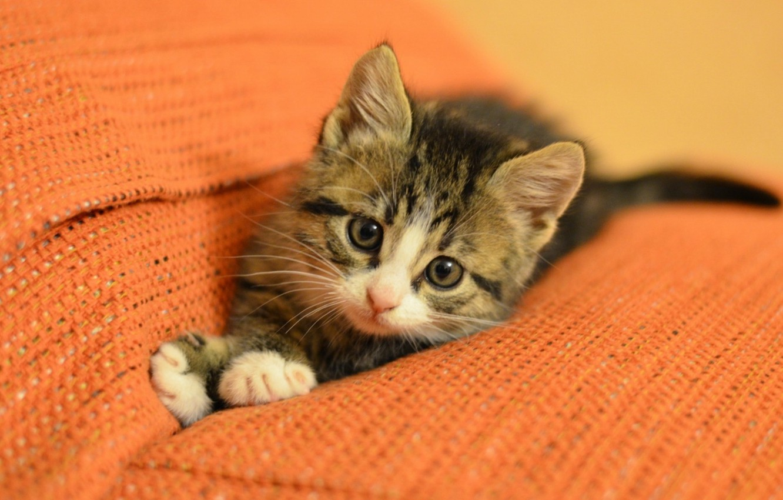 Обои Кошка. Кошки foto 7