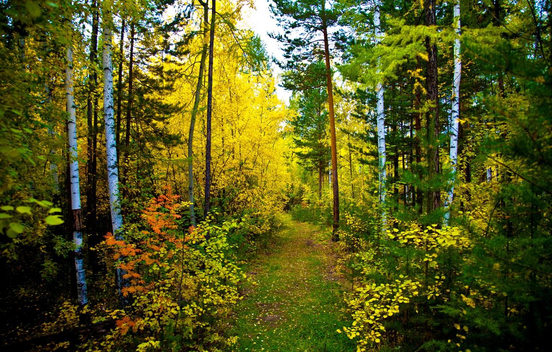 Обои тропа, осень, березы. Пейзажи foto 10