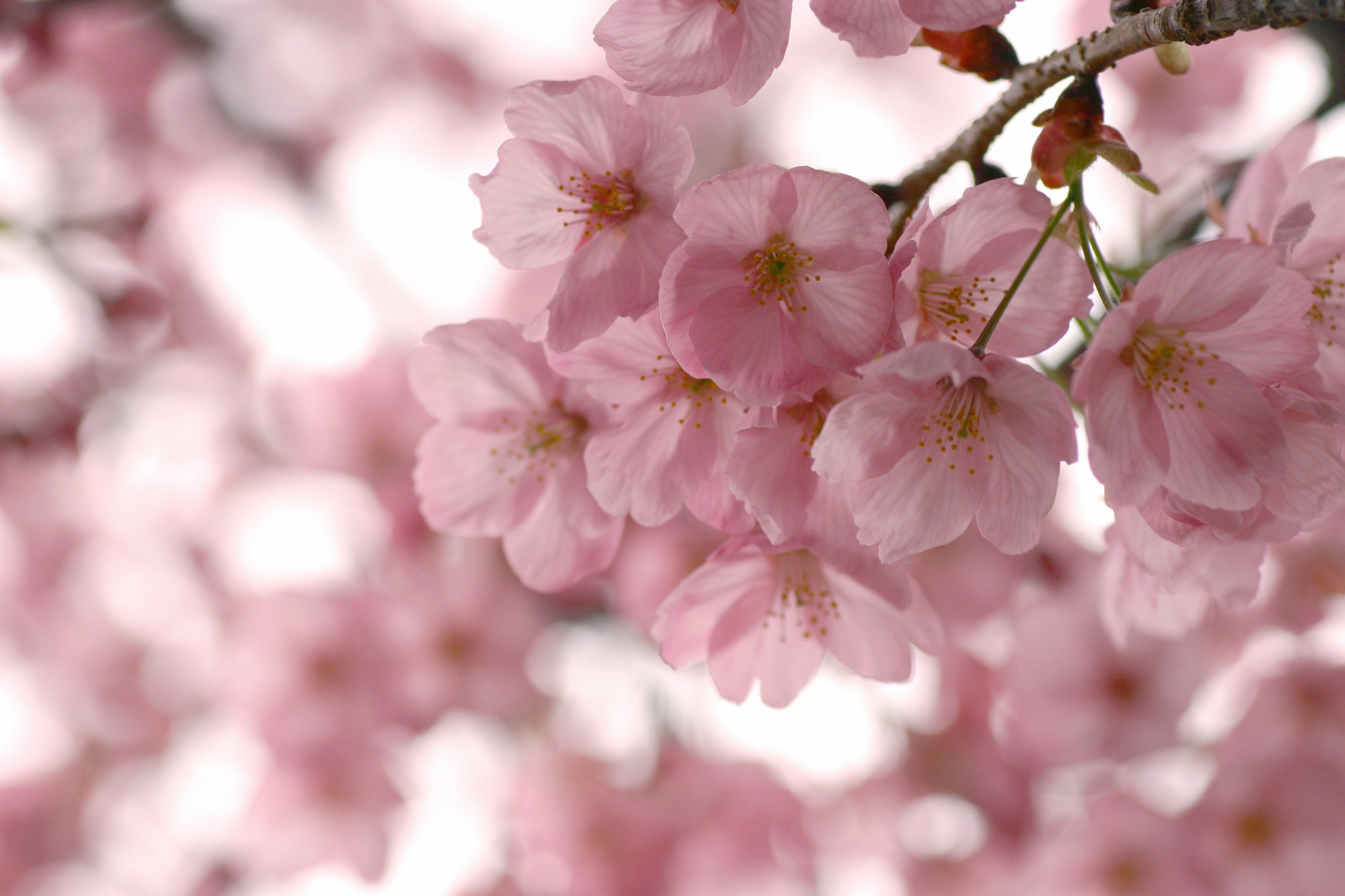 cherry blossom wallpaper - HD