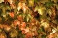 Картинка листья, заросли, плющ