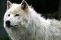 Картинка Взгяд, Белый, Волк