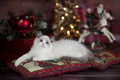 Картинка милашка, санта клаус, лапуля, новый год, подушки, боке, рождество, кошка, лежит, голубоглазый, рэгдолл, пушистый, огни, ...