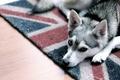 Картинка собака, взгляд, дом, уют, друг