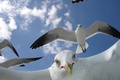 Картинка Чайки, клюв, полет