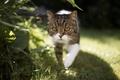 Картинка взгляд, прогулка, кот