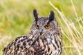 Картинка портрет, взгляд, хищник, Bubo bubo, Eurasian Eagle Owl, филин, птица, орлиная сова