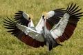 Картинка Grey Crowned Cranes, птица, природа