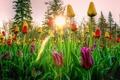 Картинка цветы, лучи, небо, солнце, деревья, тюльпаны, закат