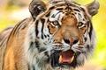 Картинка кошка, макро, животное, хищник, взгляд, тигр, фон