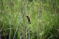 Картинка животное, кусты, птица, лето, маленькая, ветки