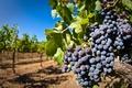 Картинка ягоды, виноградник, кисть, виноград, гроздь, лоза, листья