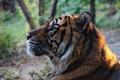 Картинка тигр, хищник, морда, профиль, дикая кошка