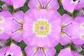 Картинка цветы, симметрия, лепестки, отражение, калейдоскоп