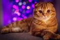 Картинка кот, елка, портрет, рыжий, Новый год, гирлянда, боке, скоттиш фолд