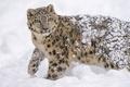 Картинка хищник, ирбис, снег, молодой, снежный барс, дикая кошка, снежный леопард