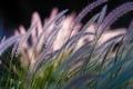 Картинка Symphony by Nature, боке, травинки