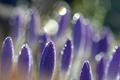 Картинка макро, цветы, капельки, роса, блики, лепестки, размытость, фиолетовые, сиреневые, боке, Крокусы