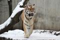 Картинка кошка, тигр, дерево, снег, амурский