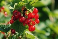 Картинка смородина, ягоды, куст, листья