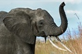 Картинка Африка, саванна, хобот, бивни, слон