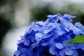 Картинка цветок, макро, цветы, синий, зеленый, фон, голубой, widescreen, обои, размытие, листик, wallpaper, широкоформатные, background, полноэкранные, ...
