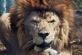 Картинка хищники, животные, львы, wild cat, king of beasts, lion, animals, дикие кошки, lions, predators, царь ...