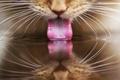 Картинка кошка, вода, отражение, пьет, рыжий, язык, кот