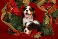 Картинка двое, красный, праздник, обои от lolita777, мишура, собаки, пасть, рождество, украшения, щенки, пара, еловые ветки, ...