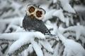 Картинка white, сова, ель, зима