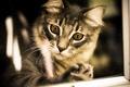 Картинка взгляд, глаза, сибирская кошка, фон