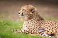 Картинка кошка, гепард, трава, отдых, профиль