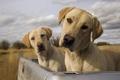 Картинка Собаки, псы, лабрадоры, близнецы, багажник, небо, облака