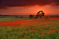 Картинка цветы, тучи, дерево, поле, луг, маки, холмы, небо, трава, закат